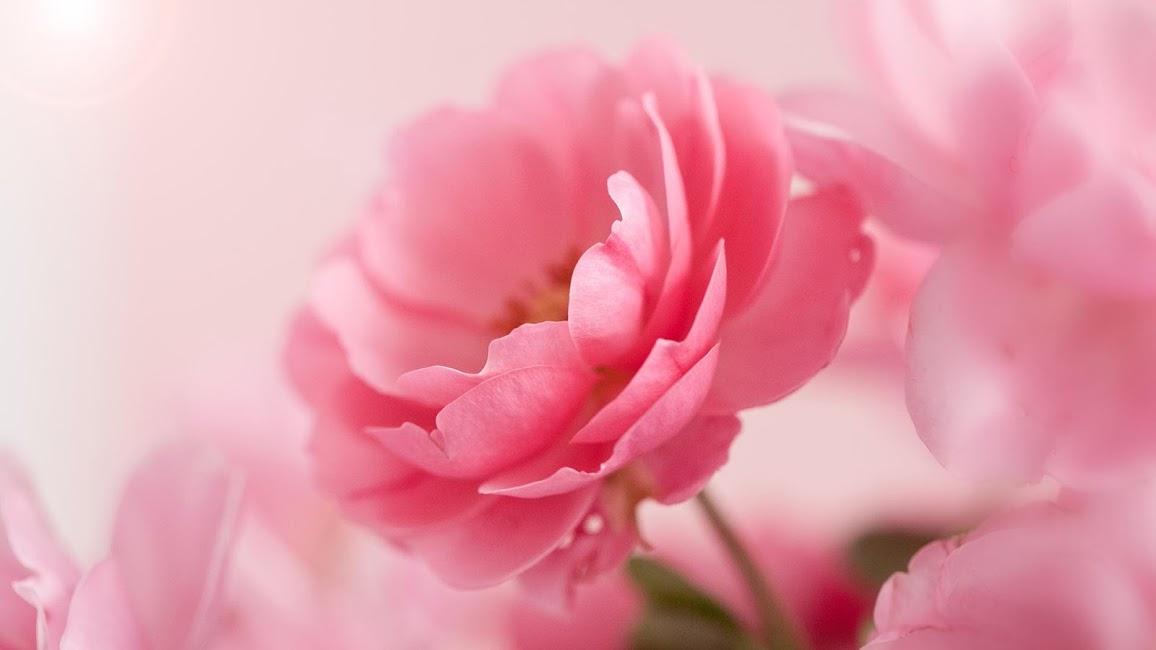 Скачать розовые розы